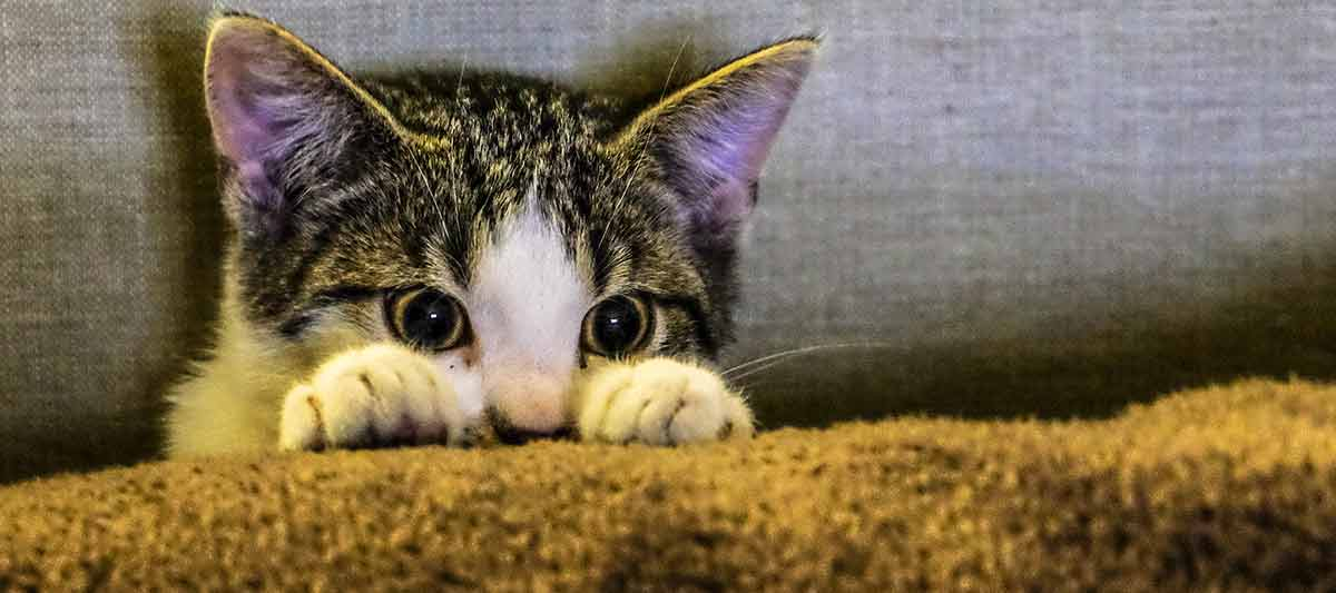 Kitten peeking up behind pillow